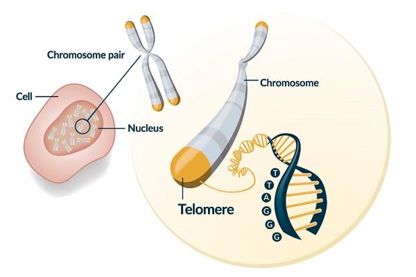теломери на хромозомите